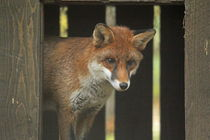 red fox bow by Martyn Bennett