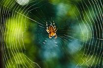 Kreuzspinnen (Araneus) im Netz No.2 by Thomas Lambart
