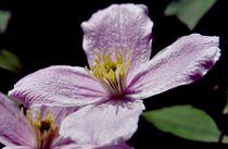 Clematisblüte von Thomas Lambart