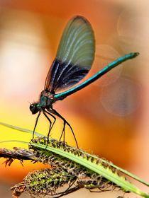 dragonfly, Libelle No.2 von Thomas Lambart