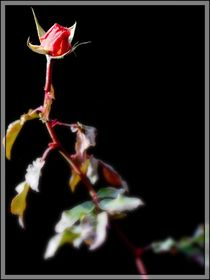 rote Rose No.1 von Thomas Lambart