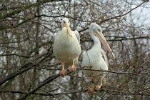 pelicans up a tree von Martyn Bennett