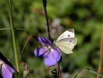 Kohlweisling Schmetterling by Yven Dienst