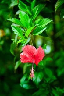 Hibiskus auf Sri Lanka von Gina Koch