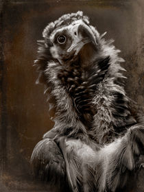 'Portrait of a Cinereous Vulture v2' von Alan Shapiro