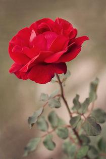Red rose von Diana Kraleva