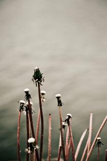 Sad dandelions von Lars Hallstrom