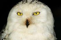 Snowy Owl von Mark Llewellyn