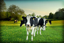 Cow lomo no5 von Paul Davis