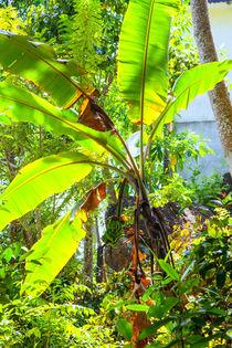 Bananenpalme im lichtdurchfluteten Garten von Gina Koch