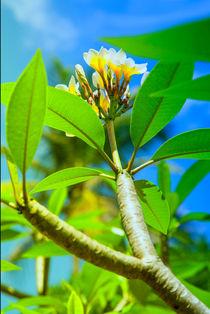 Tempel Blume  _  temple blossom von Gina Koch