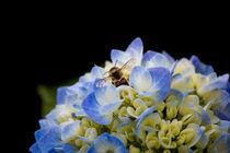 Biene in einer Hortensie von Denise Urban