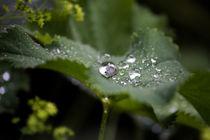 Frauenmantel mit Regentropfen, Alchemilla von Denise Urban