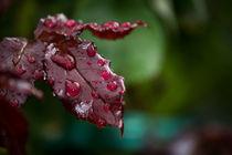 Rosenblatt mit Regentropfen von Denise Urban