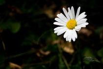 Gänseblümchen, Bellis perennis von Denise Urban