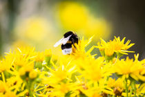 Biene in der Natur 2 von Denise Urban