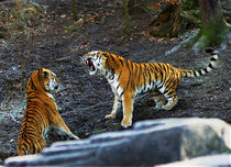 discussion amongst tigers by Bernhard Rypalla