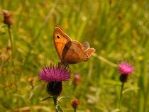 'Ochsenauge Schmetterling' by Yven Dienst