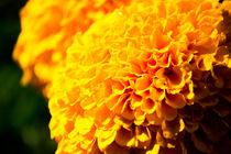gelbe Blume von Denise Urban