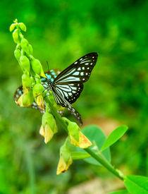 Schmetterling im Grünen von Gina Koch