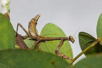 praying mantis von Craig Lapsley