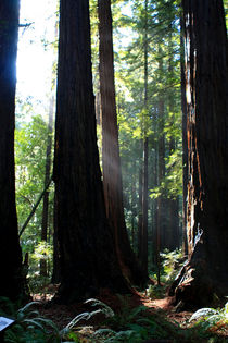 Redwood Sun Rays, Giant Redwoods, California, USA von Aidan Moran