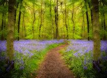 Bluebells path by Paul Davis