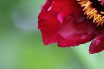 Blume Rot von Marten Bornhöft