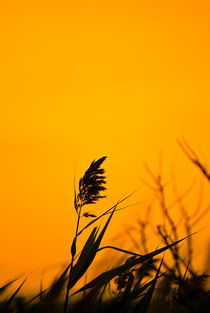 Sea-oat-at-sunset
