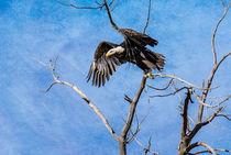 Bibp-0862-edit-texture-bald-eagle-haliaeetus-leucocephalus
