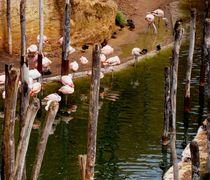 flamingos von siegi kleindienst