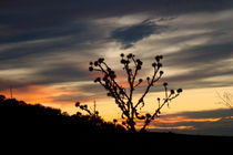 Sunset behind a thistle by Ana Mazi
