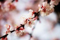peach flowers by Manuela Russo