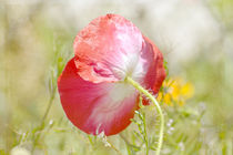 Red Poppy by Patricia N