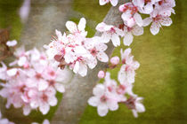 Cherry Blossom Flowers by Patricia N