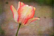 Tulip-copy