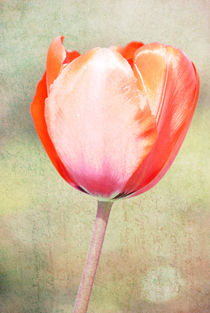 Red Tulip by Patricia N