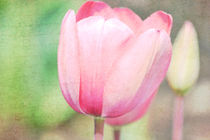 Pink Tulip von Patricia N