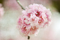Pretty Cherry Blossom Flowers by Patricia N