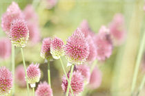Pink Clover Flowers by Patricia N