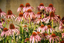 Echinacea-copy