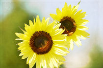 Two-sunflowers