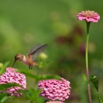 Hummingbird with Zinnias by Patricia N
