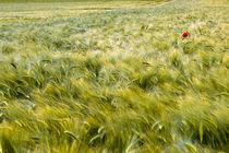 Poppy flower in grainfield by Arkadius Ozimek