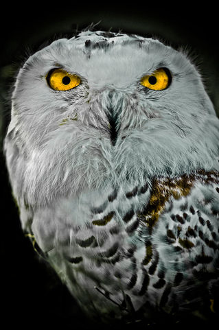 Owls-2009-svz3460a