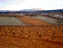 Vines in tilled by Ana Mazi