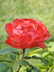 Rose von lorenzo-fp