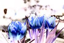 Tulpen by fraenks