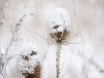 'winter beauty' von Franziska Rullert