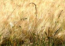 Gräser im Getreidefeld von Christine  Hofmann